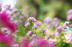 Roses for your heart (Baubec Izzet) Tags: baubecizzet pentax bokeh roses nature flower