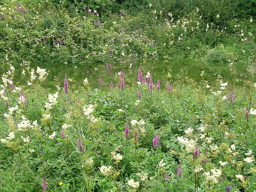 Callows purple loosestrife and meadowsweet tall herbs. Photo by Micheline Sheehy Skefffington.