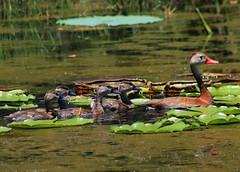 black-bellied whistling duck (Dendrocygna autumnalis) (im2fast4u2c) Tags: blackbellied whistling duck dendrocygna autumnalis tree sheldon lake state park animal wildlifw bird avain