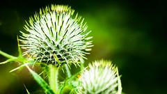 passive-aggressive (grahamrobb888) Tags: nikon d800 nikkor thistle plant green birnamwood nikkor50mmf18 prickles