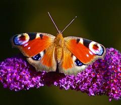 Tagpfauenauge (anubishubi) Tags: insekt insect falter tagfalter edelfalter schmetterling butterfly tagpfauenauge makro pentaxk100dsuper