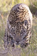 Jaguar (Gaia) (matttrevillion) Tags: pantanal brazil jaguar