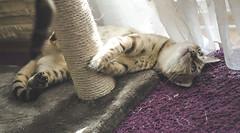 I see you (szlavid) Tags: bengal cat bengalcat pet snow hima nikon d7000 nikkor 50mm 18g playing
