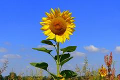Sunny Day (ivlys) Tags: erfelden altrhein himmel sky blau blue wolke cloud weiss white sonnenblume sunflower blume flower gelb yellow natur nature ivlys