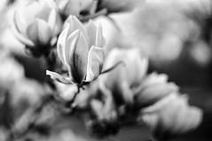 Blume à la Friedel (chipsmitmayo) Tags: minolta xd7 rokor 50mm f14 adox cms 20 adotech film analog selbstentwickelt schwarzweiss bw blackandwhite monochrom münster westfalen zoo allwetterzoo pflanze flower bokeh unschärfe