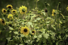 Sunflowers at Central Unit (Mabry Campbell) Tags: centralunit fortbendcounty houston sugarland texas texashistoricalcommission usa unitedstatesofamerica decay decaying exterior flower green historic image nature old photo photograph prison sinflower f56 mabrycampbell june 2017 june72017 20170607campbellh6a4632 100mm ¹⁄₆₄₀sec 100 ef100mmf28lmacroisusm fav10 fav20