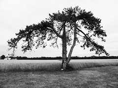 Méditation !!! (François Tomasi) Tags: monochrome blackandwhite noiretblanc tree arbre françoistomasi tomasiphotography justedutalent charentemaritime sudouest france europe french lights light iso lumière filtre digital numérique photo photographie photography photoshop nature campagne juillet 2018 pointdevue pointofview pov