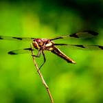 Oh Hello, Mr. Dragonfly thumbnail