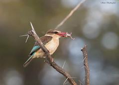 Brown-hooded Kingfisher with frog (sbuckinghamnj) Tags: zambia zambesiriver africa kingfisher brownhoodedkingfisher bird
