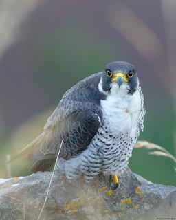 Peregrine Falcon : Falco peregrinus