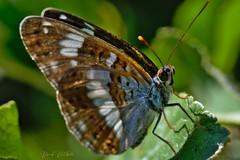 Sylvain (David Bertholle) Tags: sylvain papillon butterfly macro makro nature insect closeup ngc sigma d7200 bokeh
