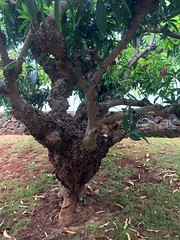 Mango (Mangifera indica): Crown gall caused by Agrobacterium sp. (Plant pests and diseases) Tags: mango mangifera indica crown gall tumefaciens stem trunk knots galls corky swelling agrobacterium