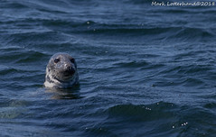 Grey Seal (Lotterhand) Tags: gray seal cape code massachusetts grey nature wildlife