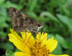 Pompeius pompeius (Over 4 million views!) Tags: butterfly hesperiidae panama pompeiuspompeius butterflies insect