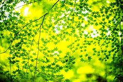 Everything is Green (moaan) Tags: kyoto japan jp kibune maple mapleleaves japanesemaple up greensky verdure season summer leica leicamp type240 noctilux 50mm f10 leicanoctilux50mmf10 utata 2018