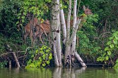 FawnStars (jmishefske) Tags: 2018 nikon d500 fawn doe milwaukee playing pond wildlife lagoon westallis wisconsin island july park greenfield whitetail county deer