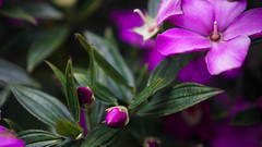Jardín Botánico (Dave. Oz) Tags: verde green hojas leaves nature naturaleza jardínbotánico flores plantas morado purple colombia bogota flower fucsia