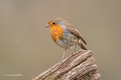 Robin D85_2322.jpg (Mobile Lynn) Tags: birds nature robin bird fauna oscines passeri passeriformes songbird songbirds wildlife coth specanimal coth5 ngc npc