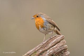 Robin D85_2322.jpg