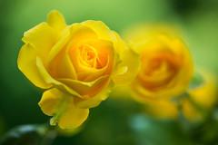 rose 1680 (junjiaoyama) Tags: japan flower rose plant summer yellow bokeh macro