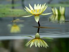 Mirror of water (dayonkaede) Tags: water pond flower lotus yellow mirror reflection olympusem1markii olympus em1markii m40150mm f28 mc14