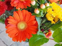 Orange Gerber Daisy (PDX Bailey) Tags: orange gerber daisy flower color colorful bright