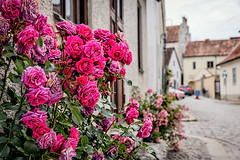 City of Roses (anderswetterstam) Tags: architecture city flowers nature street gotland alley residential houses roses cobblestone old town