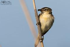 Reed Warbler with fly 2 (One Macey) Tags: warbler reedwarbler stephenmace stephenmacephotography framingwildlife nikond500 nikon sigma150600 bird