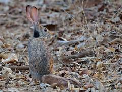Fear - Black Naped Hare (A_K_B) Tags: black naped hare indian fear nikon 200500