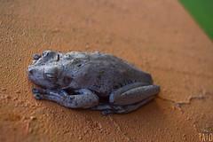 Miradas (Tato Avila) Tags: colombia colores cálido animal miradas sapo ranas anfibios tolima texturas naturaleza nikon colombiamundomágico