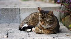 Müde    Sleepy [Explored July 18, 2018] (G_E_R_D) Tags: katze kater cat müde tired dickie sleepy