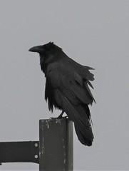 Common Raven (Corvus corax) 04-25-2018 Queen Anne's County WWTP, Queen Anne's Co. MD 7 (Birder20714) Tags: birds maryland ravens corvidae corvus corax