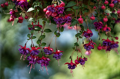 'Porch Portrait' (Canadapt) Tags: flowers hanging basket fuschia keefer canadapt