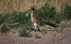 Roadrunner (Geococcyx californianus)