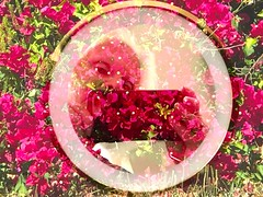 Appreciating Bourgainvillea (soniaadammurray - On & Off) Tags: ipone manipulated experimental collage abstract flowers mirror selfportrait photographing bourgainvillea magenta appreciate nature artchallenge meagainmonday shadows reflections