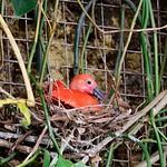 Nesting Scarlet Ibis thumbnail