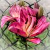 Unique (L E Dye) Tags: lily floral flowers smeltzerhouse pse n750 nikon ledye alberta canada