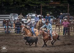 Steer Wrestling, Part 1 (allentimothy1947) Tags: 2018 barrelracing competition cowboy horses riders rodeo russianriverrodeo duncans mills steer wrestling sonoma county california horns take down riding boots saddle bridle shirt jeans rope roping russian river