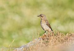 Wheatear (Ponty Birder) Tags: g b wheeler pontybirder garywheeler birds gower wales wheatear inexplore