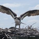 Osprey bird with two chicks on nest -  Jamestown Ferry docks  Virginia thumbnail