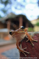 Hi there... (Rob Valentic - Gondwana Reptile Productions) Tags: polypedatesleucomystax resortlife langcobeachresort vietnamesepolypedates bokehrob robvalentic czj carlzeisslenses ilovemyflektogon flekbokeh flektogon carlzeissflektogon2028mc canon5dmarkiv bokehofvintageprimes theartofvintageglass urbanwildlife commontreefrog extensiontubem42 oldlensnewcamera germanglass wideanglelizard wideanglefrog wideanglemacro vintagelensgroup vintagelens gdrmade zeissoncanon hithere herpetologyvietnam 20mmwideangleflektogon flektogonanalogondigital thebokeh20mmflektogon vietnamurbanwildlife