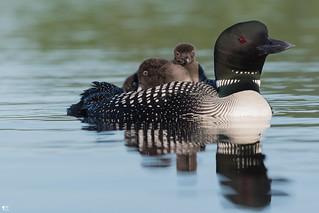 ''Nouvelle génération!'' Plongeon huard-common loon