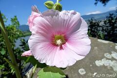Rose trémière (Jean-Daniel David) Tags: fleur mauve rosetrémière feuille feuillage ciel cielbleu bleu rocher lac lacdeneuchâtel réservenaturelle bokeh macro closeup grosplan