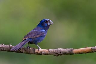 Ultramarine Grosbeak - Brazilian Birds - Species # 249