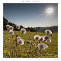 Le Crêt Monniot  (1140 m.) - Au petit matin (Fabrice Koeller) Tags: banc fleur macro