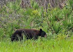 Florida Black Bear (Ursus americanus floridanus) (Mary Keim) Tags: taxonomy:trinomial=ursusamericanusfloridanus centralflorida marykeim seminolestateforest