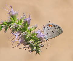 Eastern tailed-blue (Cupido comyntas) - Vicki DeLoach (Vicki's Nature) Tags: easterntailedblue tiny gray butterfly spots touchofred tail purple flowers blossoms yard georgia vickisnature canon s5 5723 june summer returnrainbow
