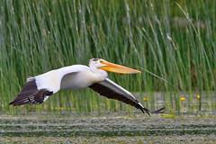 American white Pelican (Peter Stahl Photography) Tags: americanwhitepelican pelican islelake water lakeisle alberta canada ca