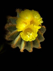 Fiore di cactus (Domenico T) Tags: flowerofcactus yellow cactus flowers