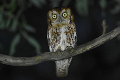 Eastern Screech Owl (Red Phase) (aj4095) Tags: eastern screech owl nature wildlife outdoor bird ontario summer canada